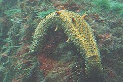 Warty Sea cucumber.jpg