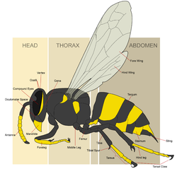 The basic morphology of a female yellowjacket wasp