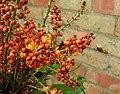 Wasp on Mahonia blossom (29792713461).jpg