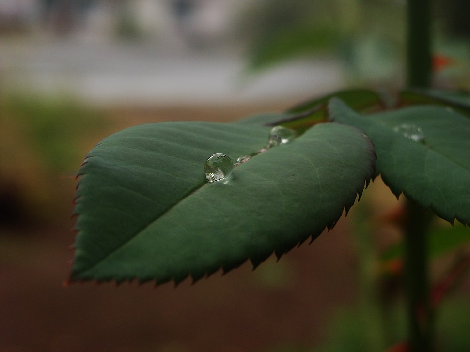Water Drop on rose leaf