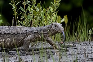 Asian water monitor - Water monitor (V. s. macromaculatus) showing split tongue (Sunderbans National Park, West Bengal, India)