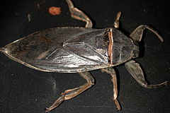 Water bug (Marshal Hedin).jpg
