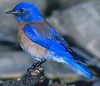 WesternBluebird23