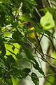 Western Black-headed Oriole - Kakum NP - Ghana 14 S4E3089 (16016463070).jpg
