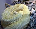 Western Diamond-backed Rattlesnake. Albino - Flickr - gailhampshire.jpg