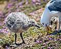 Western Gull Chicks and Mom (34602403773).jpg