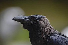 Wet Corvus splendens @ KL (4s, p2).jpg