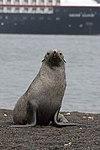 Whalers Bay Deception Island Antarctica Fur Seal 7 (47284689232).jpg