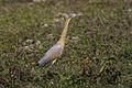 Whistling Heron - Pantanal - Brazil H8O1309 (15225129187).jpg