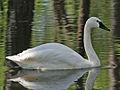 Whistling Swan RWD3.jpg