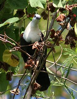 White-Throated Ground-Dove wild.jpg