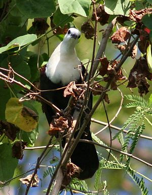 White-throated ground dove - A Male Perching in a Tree