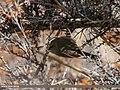White-browed Tit Warbler (Leptopoecile sophiae) (31978187902).jpg