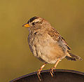 White-crowned Sparrow (7777111106).jpg