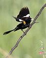 White-winged widowbird, Euplectes albonotatus, male, at Dinokeng Game Reserve, Gauteng-Limpopo, South Africa (16195423520).jpg