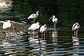 White Ibis (Eudocimus albus) - (19335494592).jpg