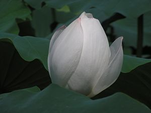 Muan County - Image: White Lotus Blossom
