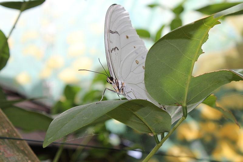 Bộ sưu tập cánh vẩy 6 - Page 5 800px-White_Morpho_Butterfly_World