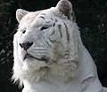 White Tiger 3 (5018369326).jpg