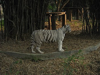 White Tiger Cooling Off in a Summer Evening. 06.jpg