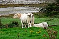 White cows grazing on Loughros Peninsula - geograph.org.uk - 1160197.jpg