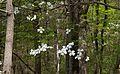 Wild Dogwoods (9379547341).jpg