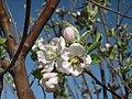 Wild Honey Bee on Wild Apple Tree Flower.jpg