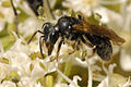 Wild bee 1 - lindsey.jpg