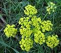 Wild fennel flowers.jpg