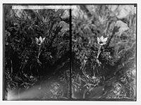 Wild flowers of Palestine. Romulea (R. Bulbocodium (L.) Seb. et Mauri); (Another view of romulea flower). LOC matpc.02399.jpg