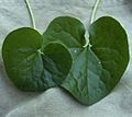 Wild ginger leaves.jpg