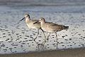 Willet, Tringa semipalmata, Moss Landing and Monterey area, California, USA. (30285180804).jpg