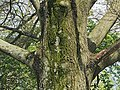 Willow Oak Quercus phellos Trunk.JPG
