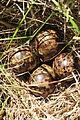 Wilson's Snipe Nest (12823611625).jpg