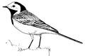 Witte kwikstaart Motacilla alba Jos Zwarts 1.tif