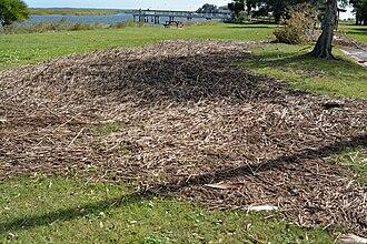 Wrack (seaweed) - Wrack washed ashore in Brunswick, Georgia by Hurricane Matthew