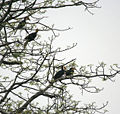 Wreathed Hornbill (Aceros undulatus) possibly on Semal (Bombax ceiba) at Jayanti, Duars, West Bengal W IMG 5784.jpg