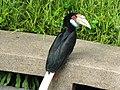 Wreathed hornbill (7856725844).jpg