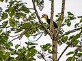 Wrinkled Hornbill (14134158736).jpg