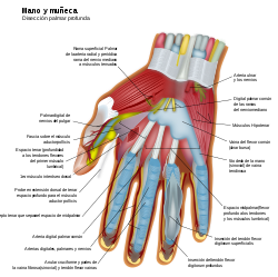 Wrist and hand deeper palmar dissection-es.svg