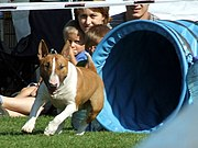 A Bull Terrier doing dog agility