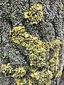 Xanthoria parietina 101852320.jpg