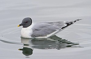 Sabine's gull - Adult in Iceland