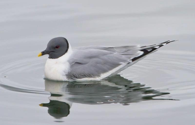 Xema sabini -Iceland -swimming-8 (1)