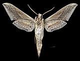 Xylophanes falco MHNT CUT 2010 0 318 El Cameron Oaxaca Mexico male ventral.jpg