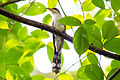 Yellow-billed cuckoo (24616840089).jpg