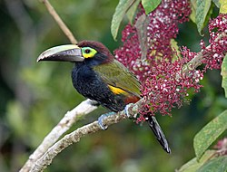 Yellow-eared Toucanet.jpg