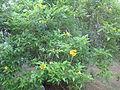 Yellow Bells - മഞ്ഞ മണികൾ 01.JPG