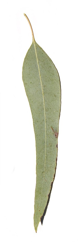 Eucalyptus melliodora - Image: Yellow Box leaf