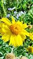 Yellow Flower Click, Karachi, Pakistan.jpg